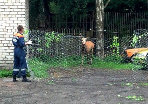 попытки поймать оленя